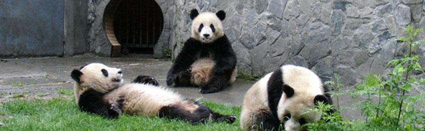 Pandas during panda conservation project